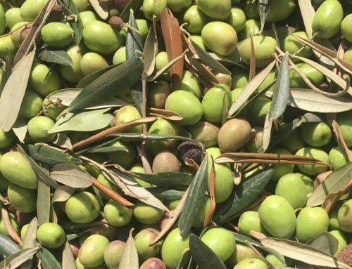 מתכון לזיתים ירוקים כבושים